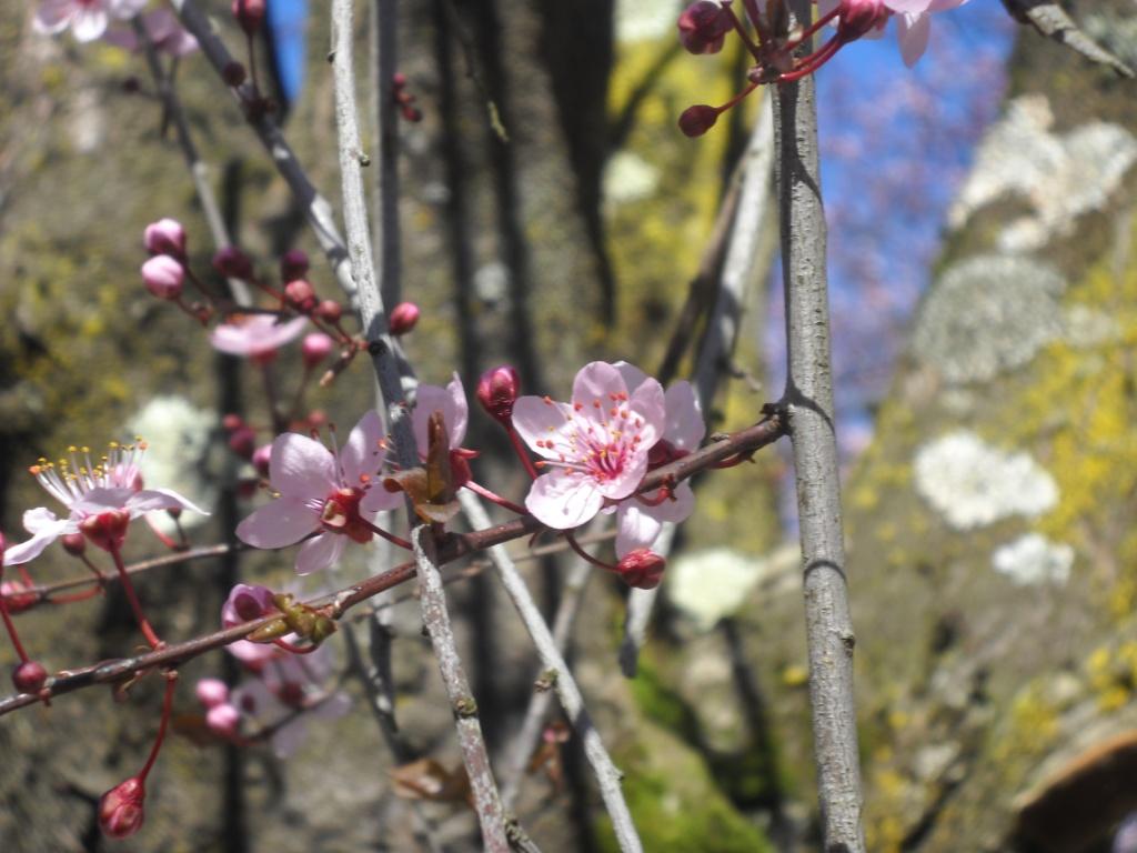 Sakura di Via Panama 5.JPG
