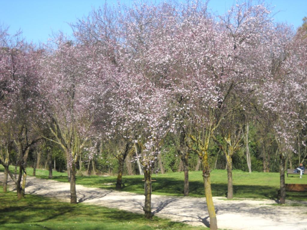 Sakura di Via Panama 2.JPG