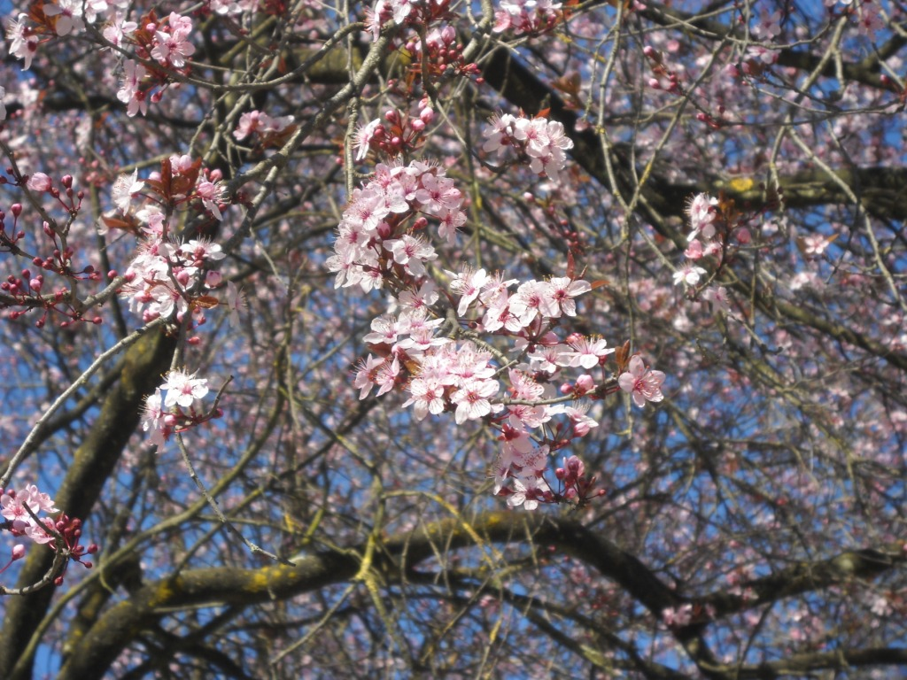 Sakura di Via Panama 3.JPG