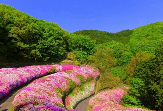 A Sea of Azaleas at Narukawa Garden_Mt Ikoma.jpeg