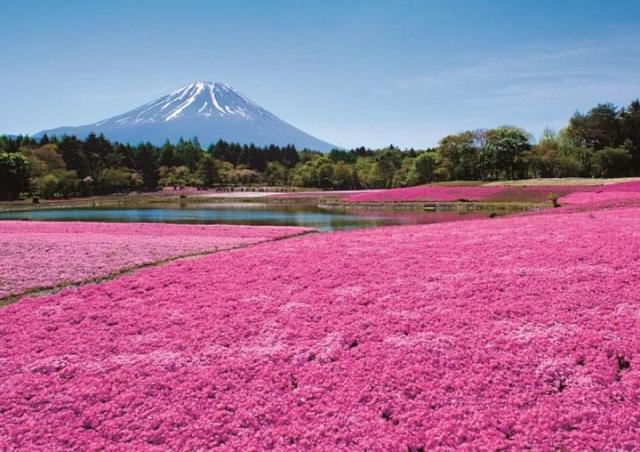 Fuji Shibasakura.jpeg