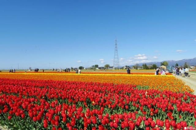 Muramatsu Park And Tulip Fields In Niigata.jpeg