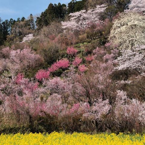 Hanamiyama_Fukushima.jpg