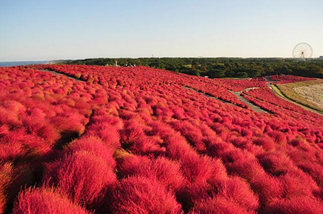 Kochia-Hitachi Seaside Park - Ibaraki's.jpg