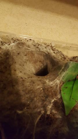 Ephebopus murinus burrow.jpg