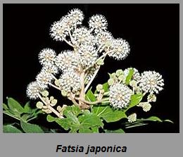 Fatsia japonica.png