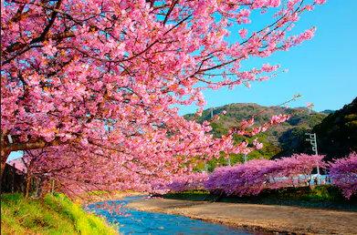 SakuraKawazu.jpg